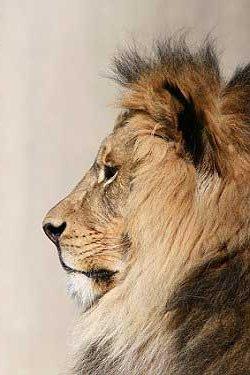 Lion Images Stock Photos amp Vectors  Shutterstock